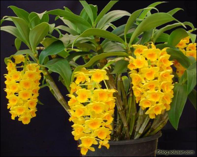 Dendrobium densiflorum – Dendrobium griffithianum (Hoàng thảo Thủy Tiên mỡ gà)