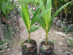 Dừa xiêm lùn xanh