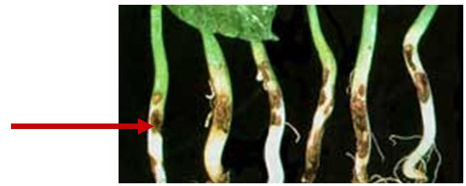 Bệnh lở cổ rễ trên cây trồng