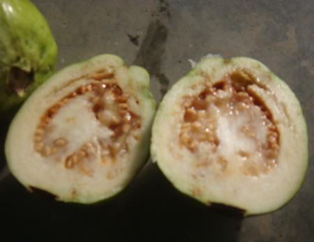 Ổi bị hỏng do ruồi đục trái gây ra