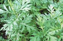 Bài thuốc hay từ cây ngãi cứu