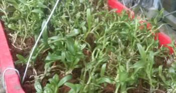 Hướng dẫn kỹ thuật trồng lan cấy mô