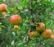 Hướng dẫn kỹ thuật trồng lựu