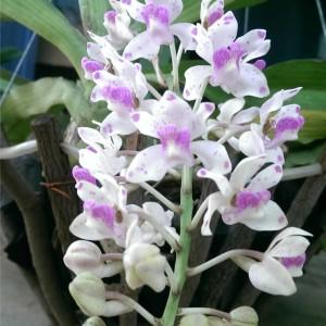 Hoa lan ngọc điểm