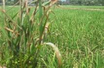 Phòng và trị bệnh đạo ôn trên lúa
