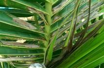 Thối đọt dừa