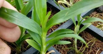 Hoàng thảo kèn gieo hạt (cây 3 tháng tuổi)