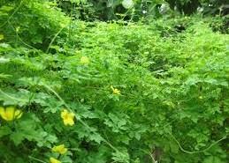 Khổ qua rừng - loại cây thực phẩm mới