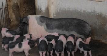 Mô hình nuôi lợn sữa
