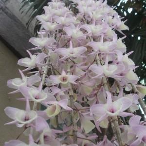 Hoàng thảo hạc vỹ