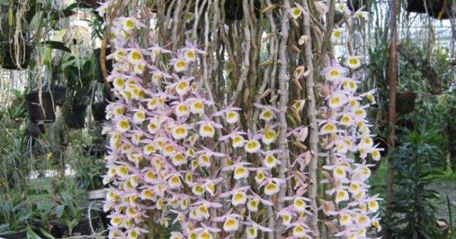 Hoàng thảo long tu