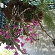 Hoàng thảo trầm rừng