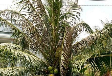 cây dừa bị bọ hại