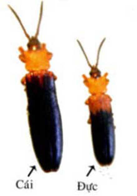 Xem thêm ở chuyên đề bọ dừa