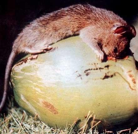 Sóc, chuột hại dừa
