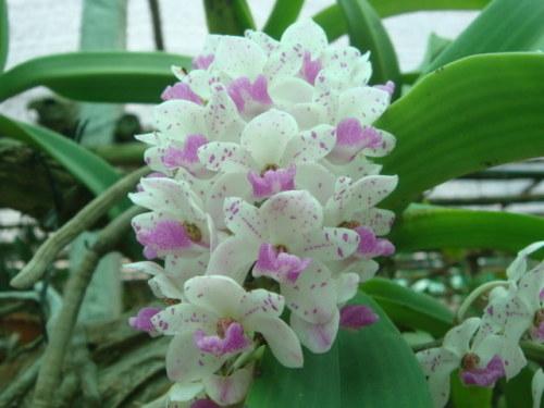 Lan ngọc điểm (hoa mẫu)
