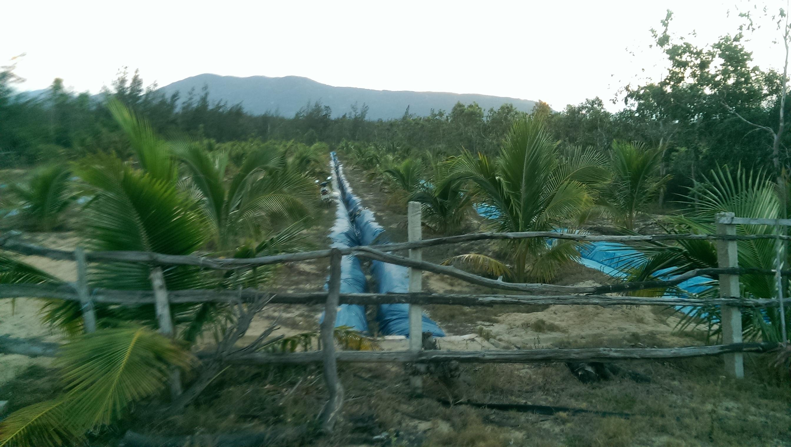 Vườn dừa trên cát