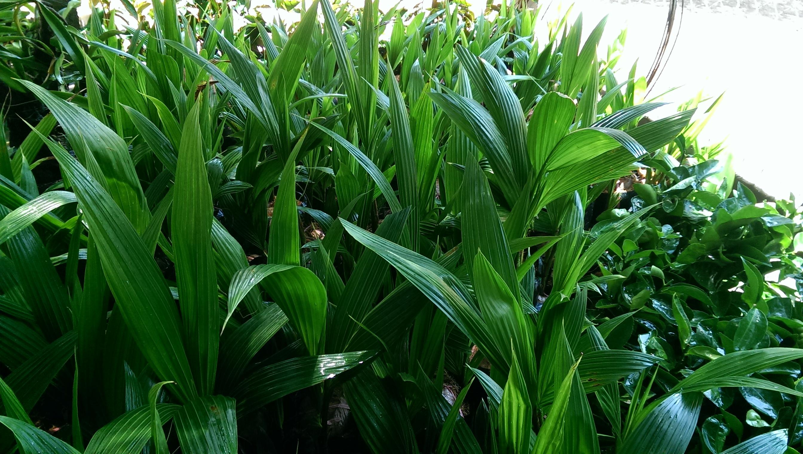 Giống dừa xiêm lùn xanh