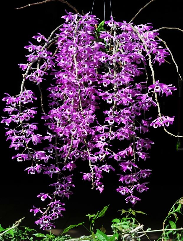 Hoang-thao-ken-Dendrobium-Lituiflorum
