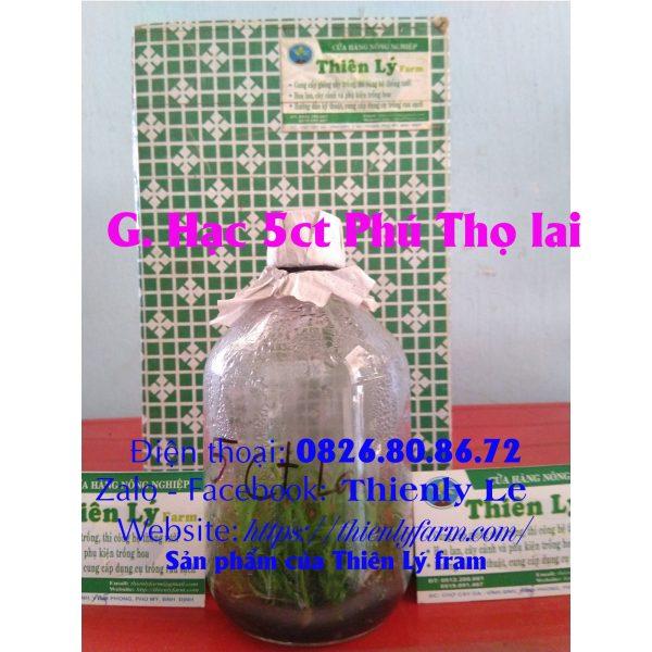 5ct Phu Tho lai 3